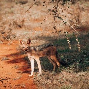 Bandur Hunting Safaris - Fox