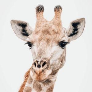 Bandur Hunting Safaris - Giraffe
