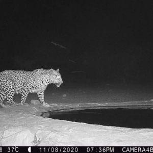 Bandur Hunting Safaris-Leopard on Camera