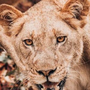 Bandur Hunting Safaris - Lioness
