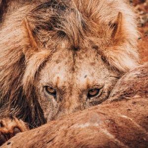 Bandur Hunting Safaris - Male Lion