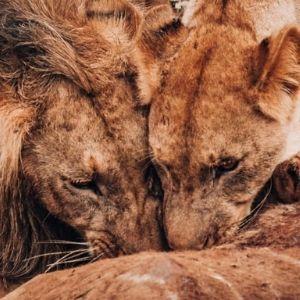 Bandur Hunting Safaris- Male Lion and Lioness