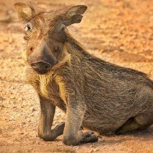 Bandur Hunting Safaris - Warthog
